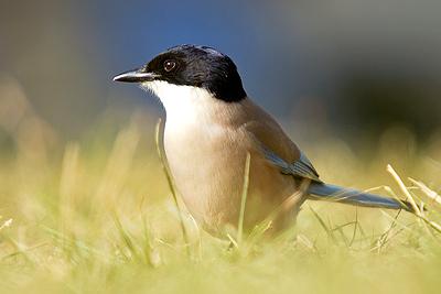 El rabilargo, observar aves, Extremadura